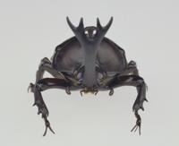 カブトムシの標本(前から)