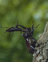 カブトムシとノコギリクワガタのケンカ