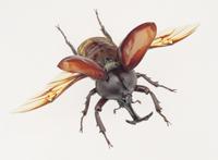 カブトムシのオスの飛翔時の姿 (標本)