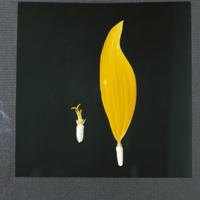 ヒマワリの管状花と舌状花