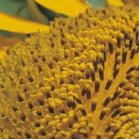 ヒマワリの管状花とシベのアップ