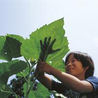 ヒマワリの葉と大きさ比べをする子供