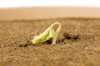 アサガオ 発芽の連続13