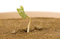 アサガオ 発芽の連続18