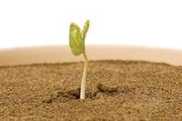 アサガオ 発芽の連続19