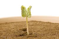 アサガオ 発芽の連続20