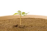 アサガオ 発芽の連続22