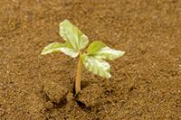 アサガオ 発芽の連続23