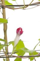 アサガオ 閉花から実の連続2