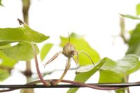 アサガオ 閉花から実の連続13 32098000880| 写真素材・ストックフォト・画像・イラスト素材|アマナイメージズ
