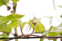 アサガオ 閉花から実の連続14 32098000881| 写真素材・ストックフォト・画像・イラスト素材|アマナイメージズ