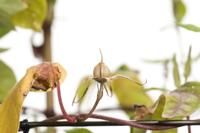 アサガオ 閉花から実の連続15 32098000882| 写真素材・ストックフォト・画像・イラスト素材|アマナイメージズ