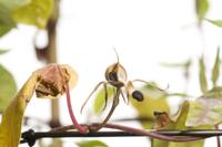 アサガオ 閉花から実の連続16 32098000883| 写真素材・ストックフォト・画像・イラスト素材|アマナイメージズ