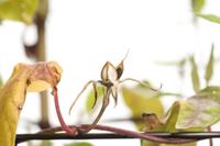 アサガオ 閉花から実の連続17 32098000884| 写真素材・ストックフォト・画像・イラスト素材|アマナイメージズ