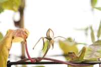 アサガオ 閉花から実の連続18 32098000885| 写真素材・ストックフォト・画像・イラスト素材|アマナイメージズ