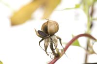 アサガオ 実が割れてタネが出る 32098000909| 写真素材・ストックフォト・画像・イラスト素材|アマナイメージズ