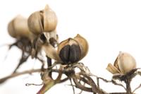 アサガオ 実が割れてタネが出る 32098000917| 写真素材・ストックフォト・画像・イラスト素材|アマナイメージズ