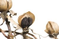 アサガオ 実が割れてタネが出る 32098000918| 写真素材・ストックフォト・画像・イラスト素材|アマナイメージズ