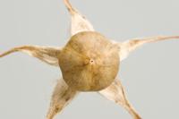 アサガオ 枯れた実(上から) 32098000954| 写真素材・ストックフォト・画像・イラスト素材|アマナイメージズ