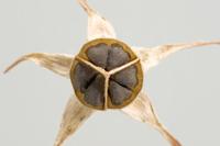 アサガオ 種子(断面) 32098000955| 写真素材・ストックフォト・画像・イラスト素材|アマナイメージズ