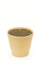 アサガオ 植木鉢での成長6