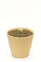 アサガオ 植木鉢での成長8
