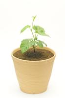 アサガオ 植木鉢での成長9