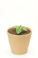 アサガオ 植木鉢での成長10