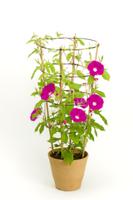 アサガオ 植木鉢での成長24