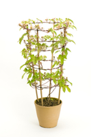 アサガオ 植木鉢での成長30 32098000987| 写真素材・ストックフォト・画像・イラスト素材|アマナイメージズ