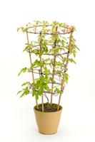 アサガオ 植木鉢での成長31 32098000988| 写真素材・ストックフォト・画像・イラスト素材|アマナイメージズ