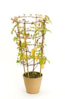 アサガオ 植木鉢での成長32 32098000989| 写真素材・ストックフォト・画像・イラスト素材|アマナイメージズ