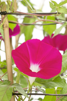 アサガオ 色々な花