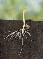ヒマワリの発芽プロセス(土中の様子)