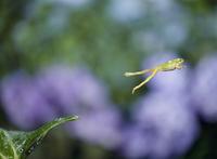 ニホンアマガエルのジャンプ 4-4 32098001632| 写真素材・ストックフォト・画像・イラスト素材|アマナイメージズ