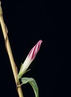 アサガオの開花A 21-2