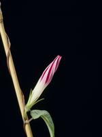 アサガオの開花A 21-3