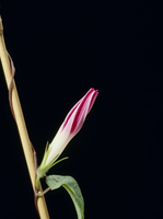 アサガオの開花A 21-4