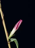 アサガオの開花A 21-5
