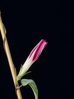 アサガオの開花A 21-6