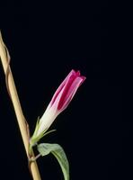 アサガオの開花A 21-7