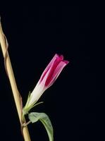 アサガオの開花A 21-8