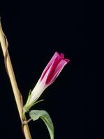 アサガオの開花A 21-9