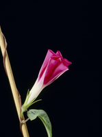 アサガオの開花A 21-12