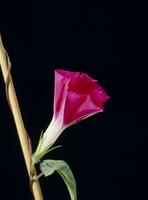 アサガオの開花A 21-13