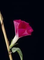 アサガオの開花A 21-14