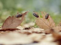 枯れ葉を食べるオカダンゴムシ 32098001801| 写真素材・ストックフォト・画像・イラスト素材|アマナイメージズ