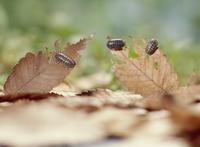 枯れ葉を食べるオカダンゴムシ 32098001803| 写真素材・ストックフォト・画像・イラスト素材|アマナイメージズ