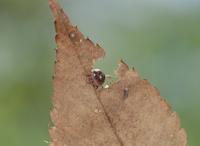 枯れ葉を食べるオカダンゴムシ