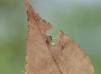 枯れ葉を食べるオカダンゴムシ 32098001809| 写真素材・ストックフォト・画像・イラスト素材|アマナイメージズ
